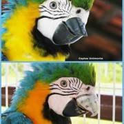 brazilian-parrot-receives-worlds-first-3d-printed-titanium-beak6